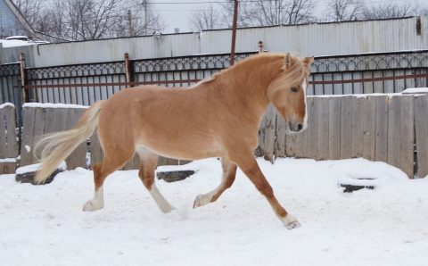 Byelorussian Harness Horse: History and Breed Characteristics